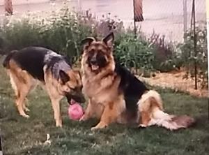 Hannah and Sarah German Shepherds